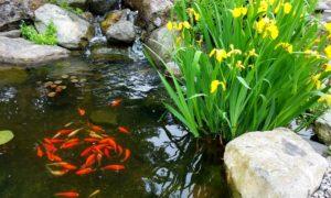 etang poisson iris belgique hainaut